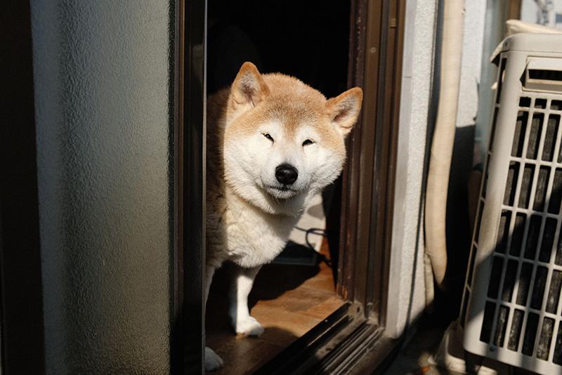 柴犬ジャム
